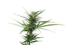 Marijuana plant isolated Royalty Free Stock Photography