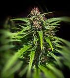 Marijuana Plant Stock Images