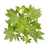 Marijuana plant Stock Image