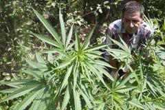 Marijuana Plant. Man looking at marijuana plant Royalty Free Stock Image