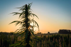 Marijuana plant in the meadow. Marihuana plant on a background of sunset sky Royalty Free Stock Photography