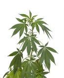 Marijuana plant Royalty Free Stock Image