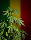 Marijuana plant on rastafarian flag background. royalty free stock image
