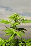 Marijuana plant Stock Photos