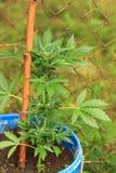 Marijuana plant Stock Photography