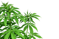 Marijuana plant on white background stock photo