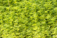 marijuana plants Royalty Free Stock Images