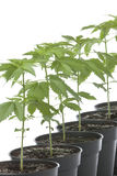 Marijuana plants in plastic pot Stock Image