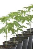Marijuana plants in plastic pot Stock Image