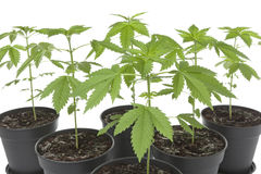 Marijuana plants in plastic pot Stock Photo