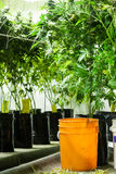 Marijuana plants ready to be harvested Stock Photography