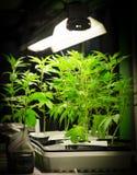 Marijuana plants under the lights Royalty Free Stock Photo