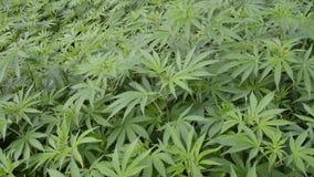 Marijuana Plants Royalty Free Stock Photo