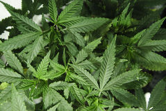 Marijuana que cresce sob a luz Fotos de Stock