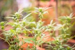 A marijuana sae, cannabis em um fundo escuro, fundo bonito, cultivo interno fotos de stock