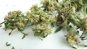 A marijuana seca video brota o produto médico do cannabis filme