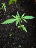 Marijuana seedling Stock Photos