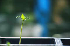 Marijuana seedling macro shot royalty free stock images