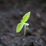 Marijuana seedling royalty free stock images