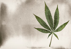 Marijuana Seven Point Pot Leaf Classic. Five leaf pot leaf isolated on white with classic film effect and copy space stock images