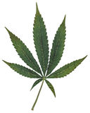 Marijuana Seven Point Pot Leaf Stock Photography