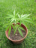 Marijuana. Royalty Free Stock Photos