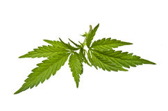Marijuana stem with leaves Stock Photo