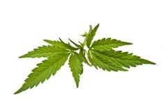 Marijuana stem with leaves Stock Photo