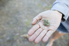 Marijuana Weed Royalty Free Stock Photo