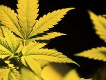 Marijuana Royalty Free Stock Photo