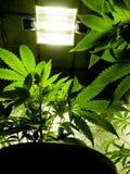 Marijuana Stock Photos