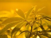 Marijuana. Young marijuana plant, Cannabis Background. Low depth of field Royalty Free Stock Photography