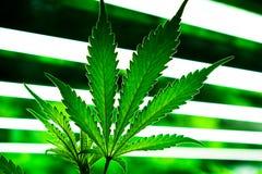 Marijuanablad, krukväxt på cannabislantgård Arkivbild