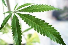 Marijuanabladslut upp med högkvalitativ Lomo effekt Arkivbilder