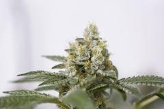 Marijuanablomningen slår ut (cannabis), hampaväxten Mycket stor inomhus ogrässkörd arkivfoton