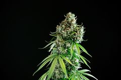 Marijuanacannabisväxt royaltyfri foto