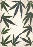 marijuanafor框架和横幅新鲜的叶子扫描  库存图片
