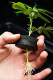 Marijuanaklon Royaltyfria Foton