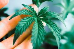 Marijuanasidor, härlig bakgrund för ung härlig makrocannabis, inomhus odling, cannabis växer gröna royaltyfria bilder