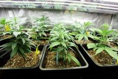 Marijuanaskörd royaltyfria bilder