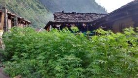 Marijuanatillväxt i den Malana byn Royaltyfri Fotografi