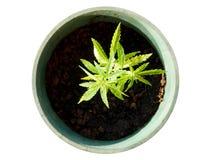 Marijuanaväxt som isoleras på vit bakgrund Top beskådar (med cl Arkivbild