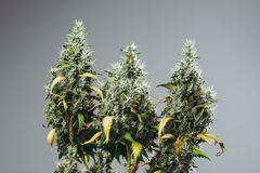 Marijuanaväxten växer med knoppar royaltyfri fotografi