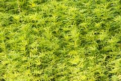Marijuanaväxter Royaltyfria Bilder
