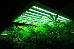 Marijuanaväxter på cannabislantgård Royaltyfri Fotografi