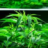 Marijuanaväxter på cannabislantgård Royaltyfria Foton