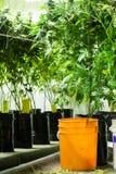 Marijuanaväxter som är klara att skördas Arkivbild