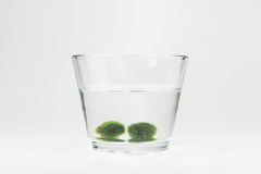 Marimo moss ball. Is japan algae  sphere shape from lake deep water ,care for hobby Royalty Free Stock Photography