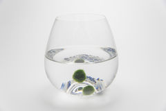 Marimo moss ball. Is japan algae  sphere shape from lake deep water ,care for hobby Royalty Free Stock Image