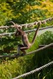 marimonda猴子蜘蛛 免版税库存照片